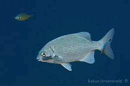 probably Blue sea chub, Kyphosus cinerascens, with isopod parasite