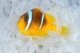 EMA-065 Twoband anemonefish, Amphiprion bicinctus