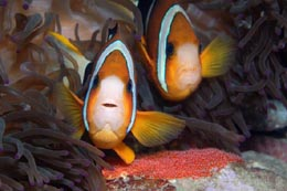 IAM-075_Clarks_anemonefish_Amphiprion_clarkii_with_eggs