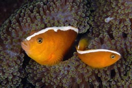 IHW-197 Yellow clownfish, Amphiprion sandaracinos