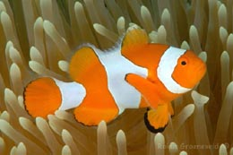 IHW-233 Clown anemonefish, Amphiprion ocellaris